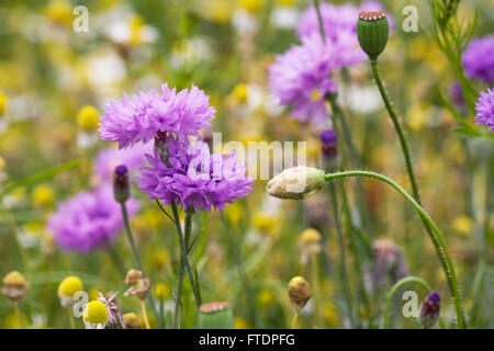 Centaurea cyanus. Cornflowers in a wildflower garden. - Stock Photo