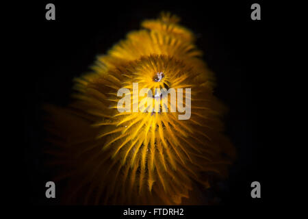 Christmas Tree Worm Spirobranchus Giganteus - Stock Photo