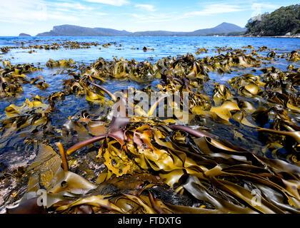 Kelp Seaweeds, Adventure Bay, Bruny Island, Tasmania, Australia - Stock Photo