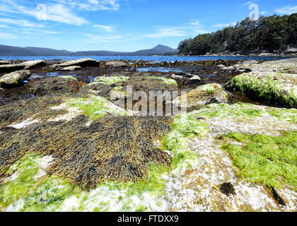 Seaweeds, Adventure Bay, Bruny Island, Tasmania, Australia - Stock Photo