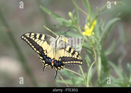 Old World swallowtail (Papilio machaon) - Stock Photo