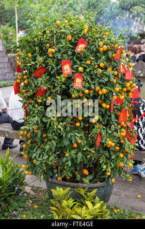 Kumquat tree bearing fruits and with traditional red Chinese New Year decorations on Hainan island, China. - Stock Photo
