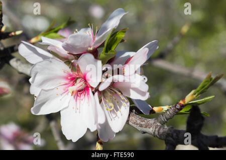 Almond blossom, Prunus dulcis, in flower in Spain, springtime. - Stock Photo