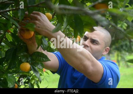 1402128-N-MW280-251 LISBON, Portugal (Feb. 28, 2014) --  Sgt. Jose Arroyo, from San Antonio, Texas, picks oranges - Stock Photo
