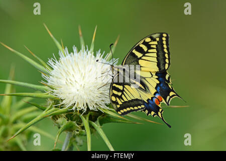 Swallowtail butterfly - Papilio machaon - on a thorn flower - Stock Photo