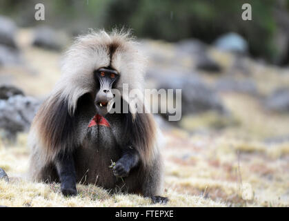 A male gelada baboon (Theropithecus gelada) in the Simien mountains in Ethiopia. - Stock Photo