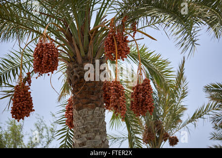 Ripening dates hanging from a date palm tree in Muscat Oman - Stock Photo