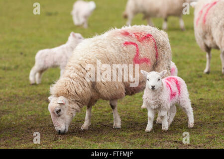 Numbered sheep and lambs in a field during lambing season - Stock Photo