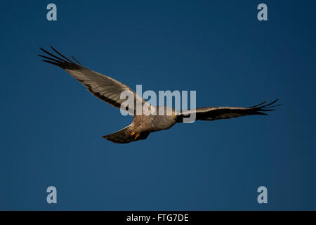 Male cinereous harrier flying in the blue sky, over the Laguna Nimez in Patagonia, Argentina - Stock Photo