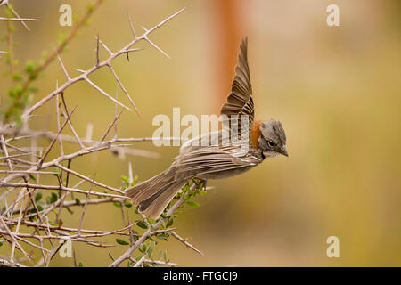 Rufous-collared sparrow, typical of South America, also called chingolo - Stock Photo