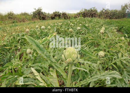 Field of artichoke in the vegetable garden  Pic by Pako Mera - Stock Photo