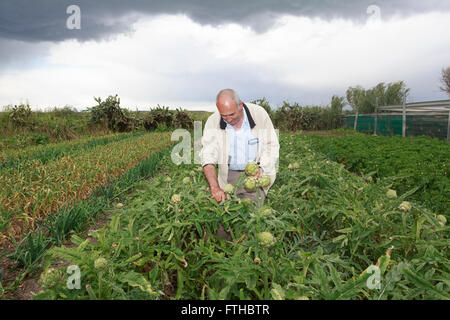 Farmer collecting artichoke in the vegetable garden  Pic by Pako Mera - Stock Photo