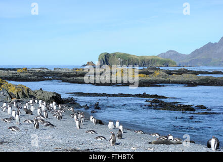 Gentoo penguins (Pygoscelis papua) and young  antarctic fur seals (Arctocephalus gazella)  on the beach of Prion - Stock Photo