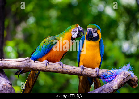 Two parrots on a perch - Stock Photo