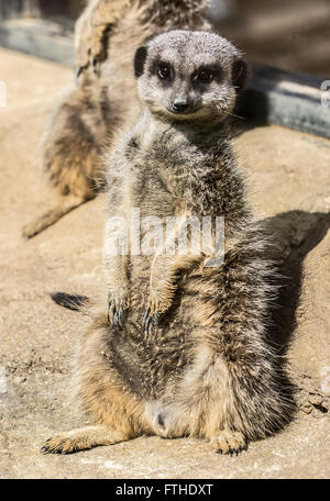 Meerkat sitting in the sun - Stock Photo