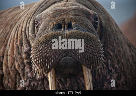 A close up of a female Pacific Walrus resting after entering the haulout September 19, 2013 in Point Lay, Alaska. - Stock Photo