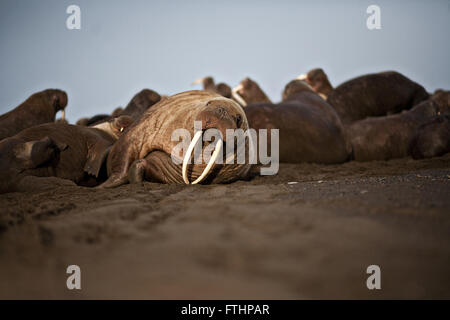 A female walrus resting after entering the haulout September 19, 2013 in Point Lay, Alaska. Haul outs are sandy - Stock Photo