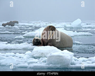 A female Pacific walrus and her pup resting on an ice floe June 12, 2010 in the Chukchi Sea off Alaska. Haul outs - Stock Photo