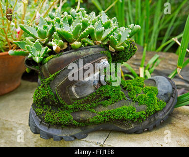 Unusual plant container, recycled old leather boot covered with moss and with succulent plant growing in top & spilling - Stock Photo