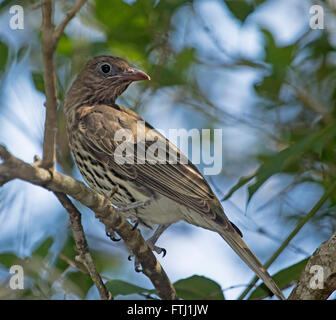 Female green figbird Sphecotheres viridis on tree branch with green foliage & against blue sky in Australian garden - Stock Photo