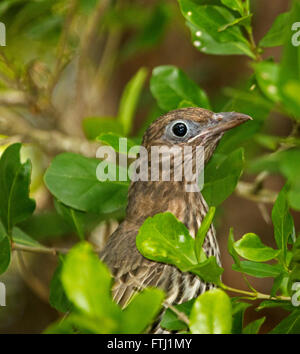 Close up of female green figbird Sphecotheres viridis with gleaming eye & alert expression among emerald green foliage - Stock Photo