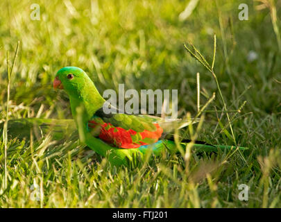 Spectacular male Australian red-winged parrot with vivid green and red plumage on lawn in garden