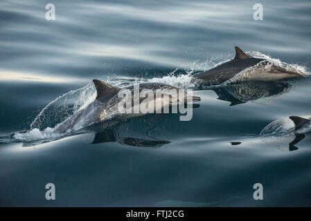 Long-Beaked Common Dolphin Delphinus capensis - Stock Photo