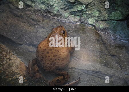 Bull Frog resting on a stone in water. - Stock Photo