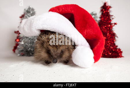 European hedgehog, Erinaceus europaeus, In studio wearing Santa hat - Stock Photo