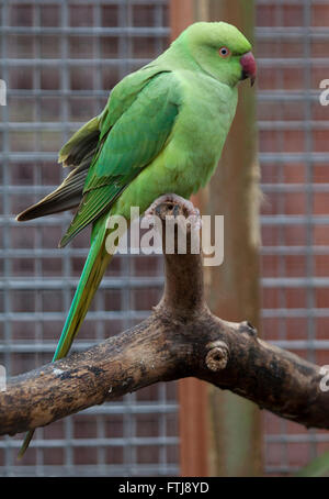 Ring-necked Parakeet, Psittacula krameri, Perched in aviary - Stock Photo