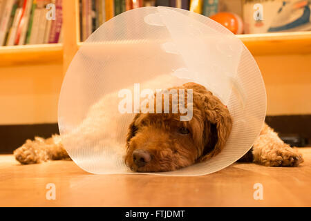 Unhappy bored dog lying on floor with protective collar after surgery - Stock Photo
