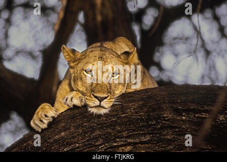 African lion resting in tree - Stock Photo
