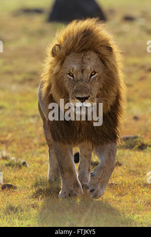 African lion walking into the camera - Stock Photo