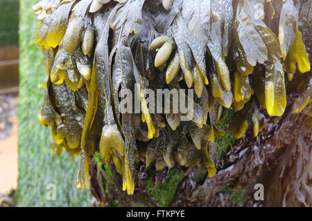 seaweed on old weathered groyne at sheringham, north norfolk, england - Stock Photo