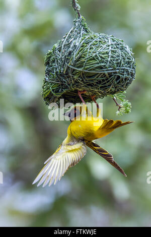 Southern masked weaver in Kruger national park, South Africa ; Specie Ploceus velatus family of Ploceidae - Stock Photo