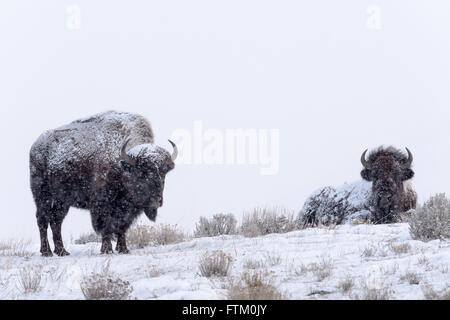 American Bison (Bison bison), standing and lying down in snow, Lamar Valley, Yellowstone National Park, Wyoming, - Stock Photo