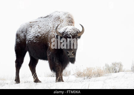 American Bison (Bison bison), standing in snow, Lamar Valley, Yellowstone National Park, Wyoming, Montana, USA - Stock Photo