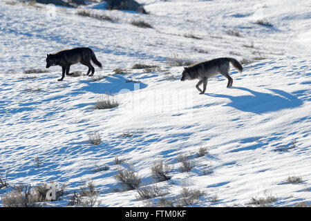 Gray Wolf (Canis lupus) pair walking in snow, backlight casting shadows on snow, Lamar valley, Yellowstone national - Stock Photo