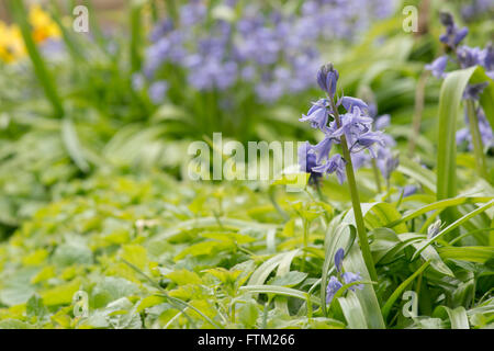 Hyacinthoides hispanica. Spanish bluebells in a garden. Invasive plant species - Stock Photo