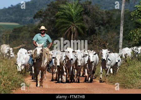 Pawn cattle in the Pantanal wetland playing South - Stock Photo