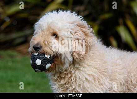 Beige (Apricot) coloured very hairy Labradoodle with a black and white ball in it's mouth - Stock Photo