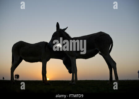 Couple of donkeys during the sunset on a beach in Jericoacoara National Park - Stock Photo