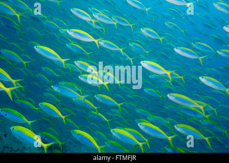 Hundreds of Yellowback fusiliers. - Stock Photo