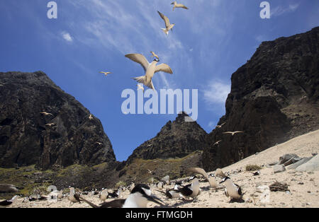 Ninhal grazina of birds on the island of Trinidad in the middle of the Atlantic Ocean - Stock Photo