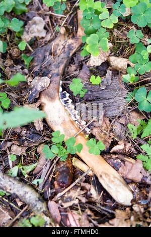 Deer skeleton wildlife remains on forest floor  Model Release: No.  Property Release: No. - Stock Photo