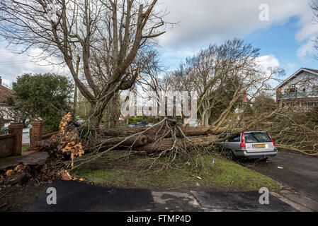 A Volvo estate car was crushed by a falling tree in Surrenden Crescent, Brighton. - Stock Photo