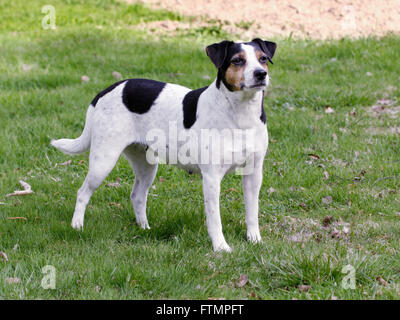 Danish-Swedish farm dog - Stock Photo