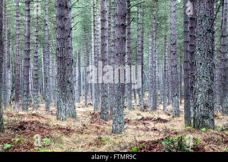 ... Pine Trees in Tentsmuir Forest Tayport Fife Scotland - Stock Photo & Tentsmuir Forest Fife Scotland Stock Photo: 39923692 - Alamy