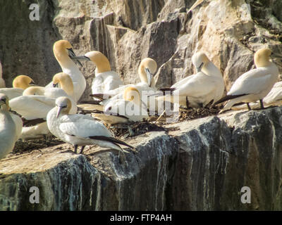 Gannetts nesting on Bass Rock, North Sea off Scottish coast, near Edinburgh. - Stock Photo