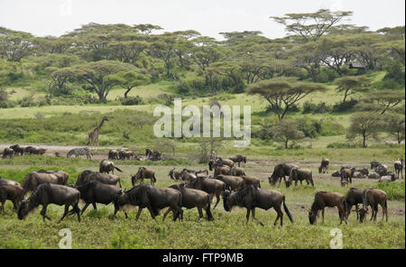 Wildebeests, common zebra, and Masai giraffe, Ngorongoro Conservation Area (Ndutu), Tanzania - Stock Photo